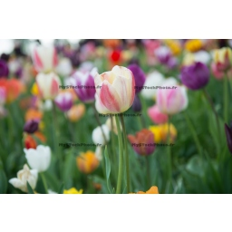 Field of Tulips (Pink & White)
