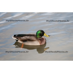 Fine Art 20x30 - Beautful Male Duck with Green Collar