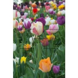 Fine Art 20x30 - Field of Tulips