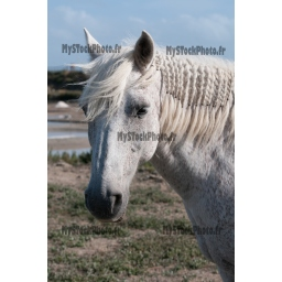 Toile Fine Art 20x30 - White Horse portrait and salt marsh