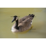 Fine Art 20x30 - Canada Goose