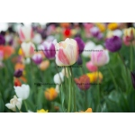 Fine Art 20x30 - Field of Tulips
