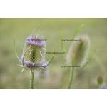 Fine Art 20x30 - Thistle Flower