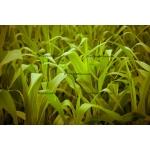Fine Art 20x30 - Corn Leaves