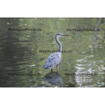 Toile Fine Art 20x30 - Grey Heron standing in a pond