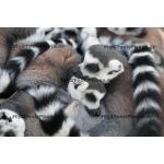 Toile Fine Art 20x30 - Love of Lemurs