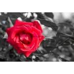 Toile Fine Art 20x30 - Rose Rouge sur fond N&B