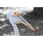 Toile Fine Art 20x30 - Pelican Bird