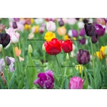 Toile Fine Art 20x30 - Field of Tulips