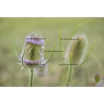 Toile Fine Art 20x30 - Thistle Flower