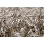 Toile Fine Art 20x30 - Field of Wheat