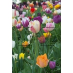 Field of Tulips (Pink & White) #2