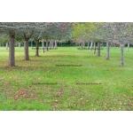 Path of Apple Trees