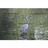 Fine Art 20x30 - Grey Heron standing in a pond