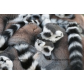 Love of Lemurs