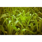 Corn Leaves
