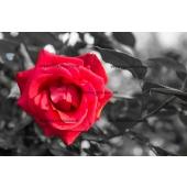Rose Rouge sur fond N&B